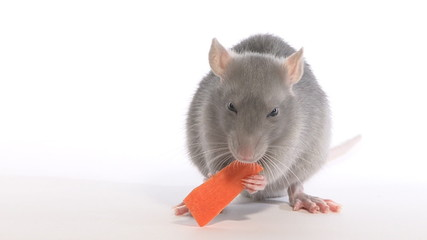 Rat nibbles carrot, in the studio on a white background