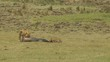 Female lion and hyena sharing a wildebeest