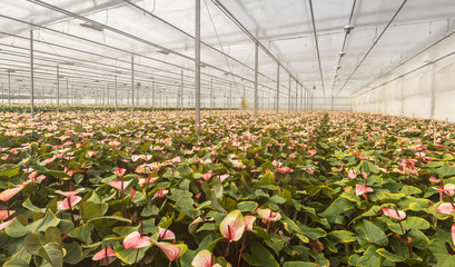 Flamingo Flower plants in a Dutch flower nursery