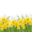 spring narcissus on white