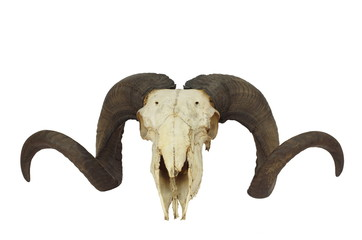 ram skull with big horn