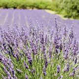Lavender flower field. Provence. France.