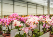 Rows of colorful blooming mature orchid plants ready for transpo
