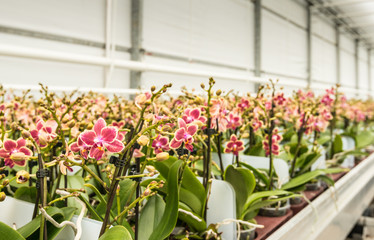 Rows of colorful mature orchid plants ready for transport
