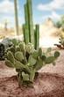 Exotic cactus in desert