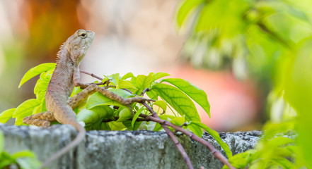 Thai Chameleon