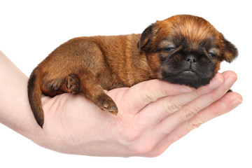 Griffon puppy lying in hand