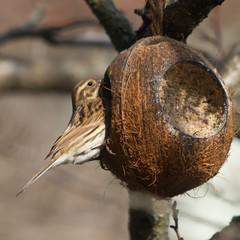 Rohrammer auf Kokosnuss