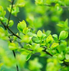 Beautiful nature - Budding leaves