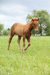 Filly of sorrel solid paint horse before a storm