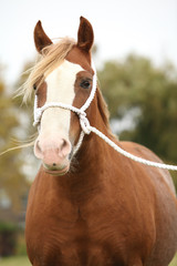 Portrait of welsh pony with white rope show halter