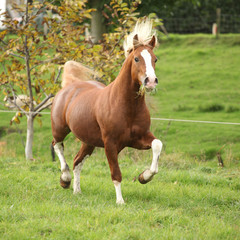 Chestnut welsh pony with blond hair running on pasturage