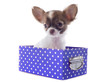 chihuahua in box