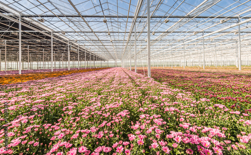 Glasshouse with flowering Chrysanths