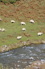 Sheep on pasture along the river