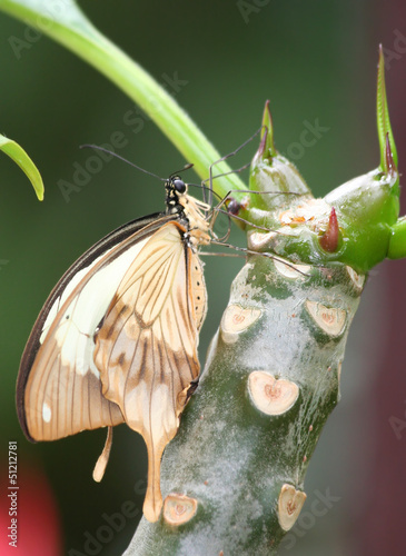 Swallowtail Butterfly holding on the body of plumeria flower