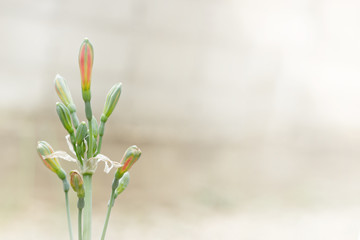 Hippeastrum cybister hybrid in garden.Phaedranassa spp.