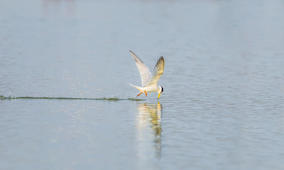 The River Turn (Sterna Aurantia) flying and catching the fish