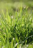 Green grass - 51218100