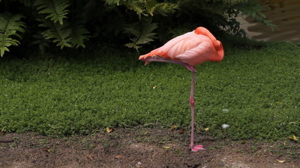 Sleeping flamingo. Two shots.