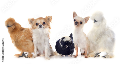 bantam chicken and chihuahuas