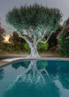 Olive tree by the pool, nigh view