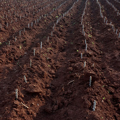 Grow cassava farm
