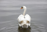 a beautiful swan swimming in a pond