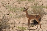 Steenbok (Raphicerus strepsiceros) in the Kalahari desert