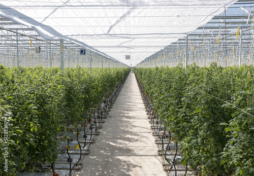 greenhouse with tomatos