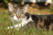 Tigerkatze liegt im Gras