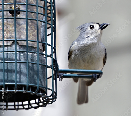Tufted Titmouse with Sunflower Seed