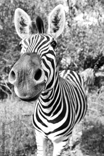Staande foto Zebra Zebra Snout