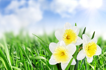 Beautiful spring flowers  background -narcissus (Daffodil) .