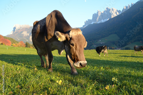 Dolomites mountain cow