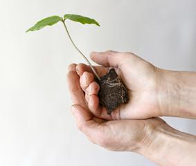 Gardener hands with Сobaea