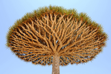 Yemen. Socotra island. Dragon tree