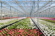Greenhouse with colorful geranium plants