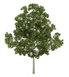 acer platanoides tree isolated on white background