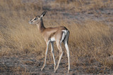 Young Gazelle in the Savannah