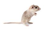 Mongolian gerbil rodent poster