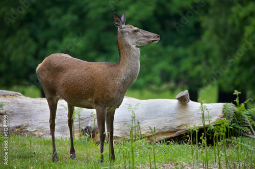 Female Red Deer