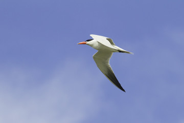 caspian tern flying across a blue sky / Sterna caspia