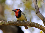 Picture of Black Collared Barbet