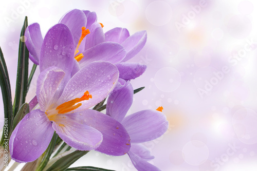 Beautiful spring card with blue flowers. crocuses