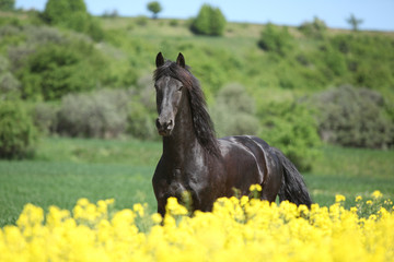 Young friesian horse running behind colza field