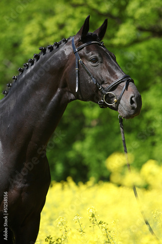 Black stallion in the colza field