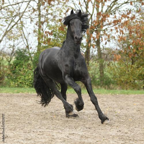 Czarny Koń ogier galopujący na piasku na jesieni