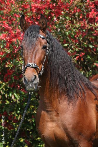 Piękny brązowy ogier andaluzyjski przed czerwonymi kwiatami