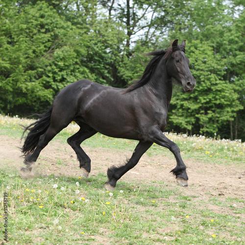 Koń fryzyjski działa na pastwisku latem